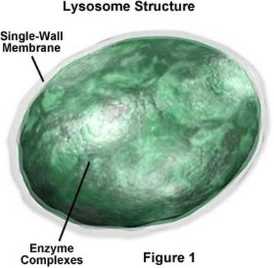1376726 jpg 399 : lysosome diagram - findchart.co